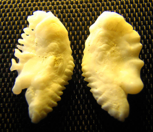 Fish Otoliths