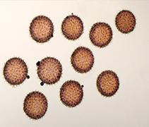 AMS dating pollen